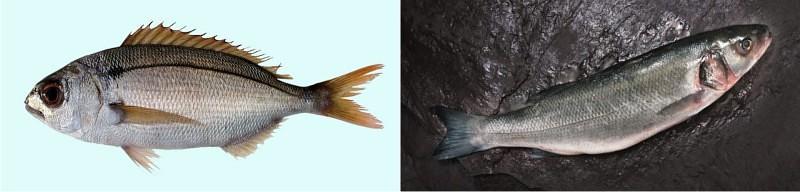 pamex kotor riba